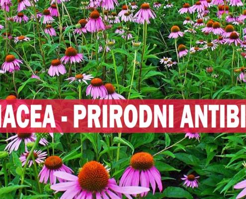 Ehinacea - prirodni antibiotik