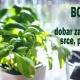 Bosiljak - dobar za bubrege, srce, prehlade